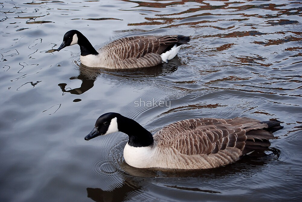Canada geese by shakey