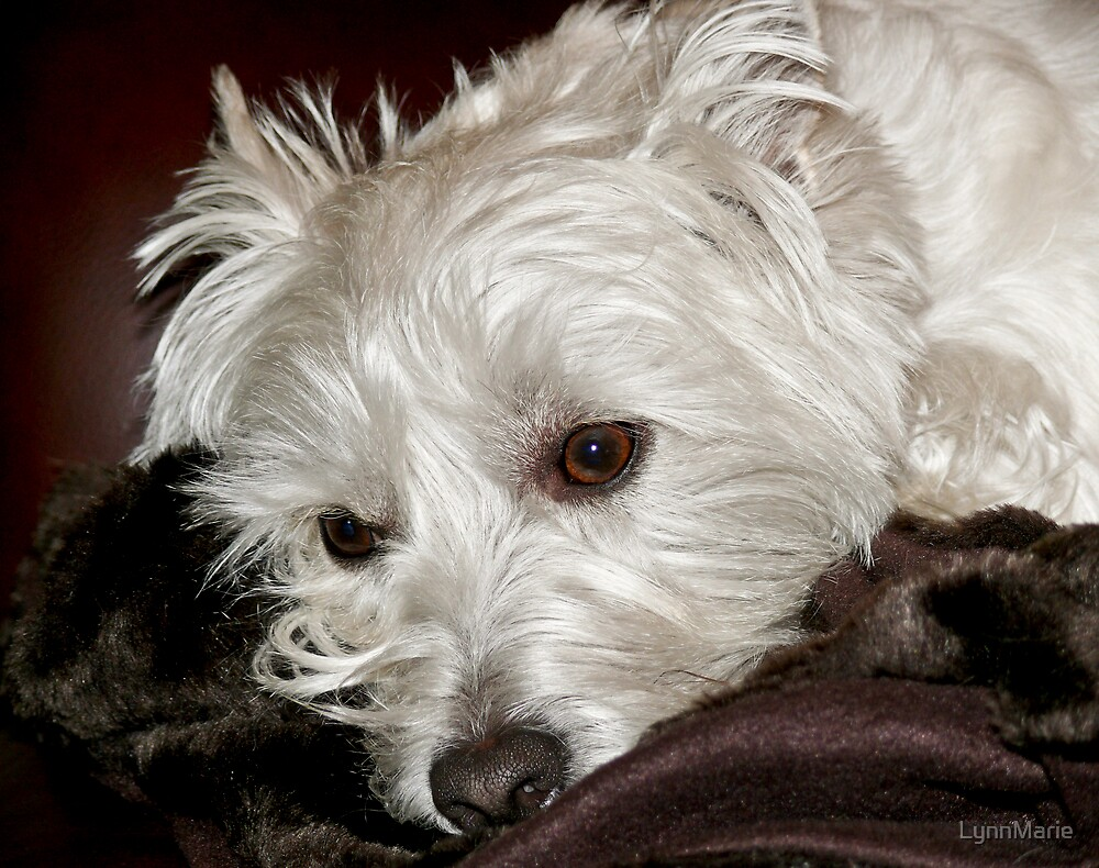 West Highland Terrier by LynnMarie