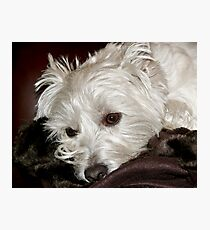 West Highland Terrier Photographic Print