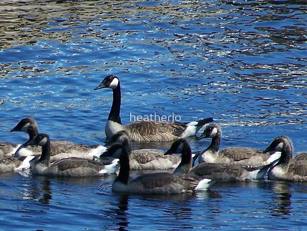 Canadian Geese by heatherjo