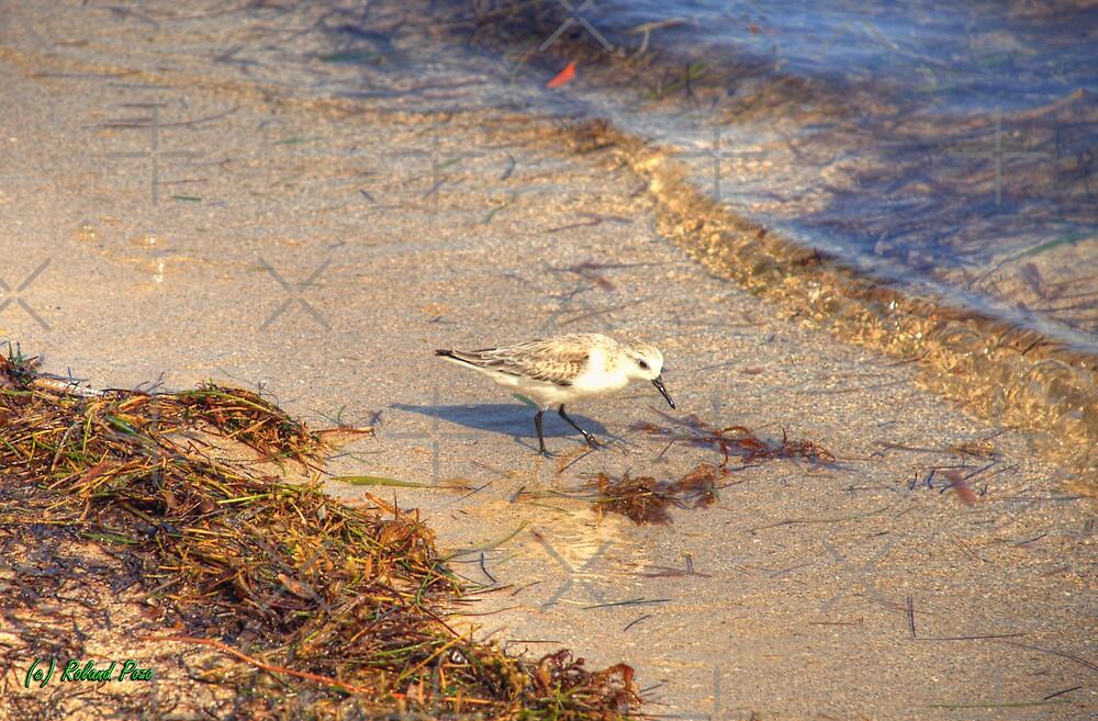 Sandpiper by photorolandi