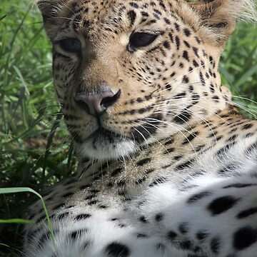 Leopard  by jansphotos