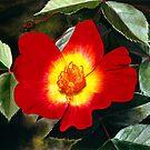 Red Rose by Matthew  Bates