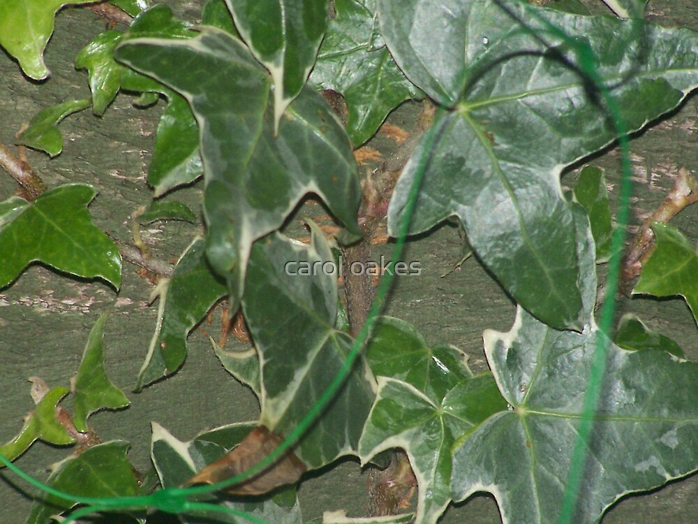 ivy by carol oakes