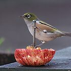 Silver Eye........who ate all the apple....??     by Roy  Massicks