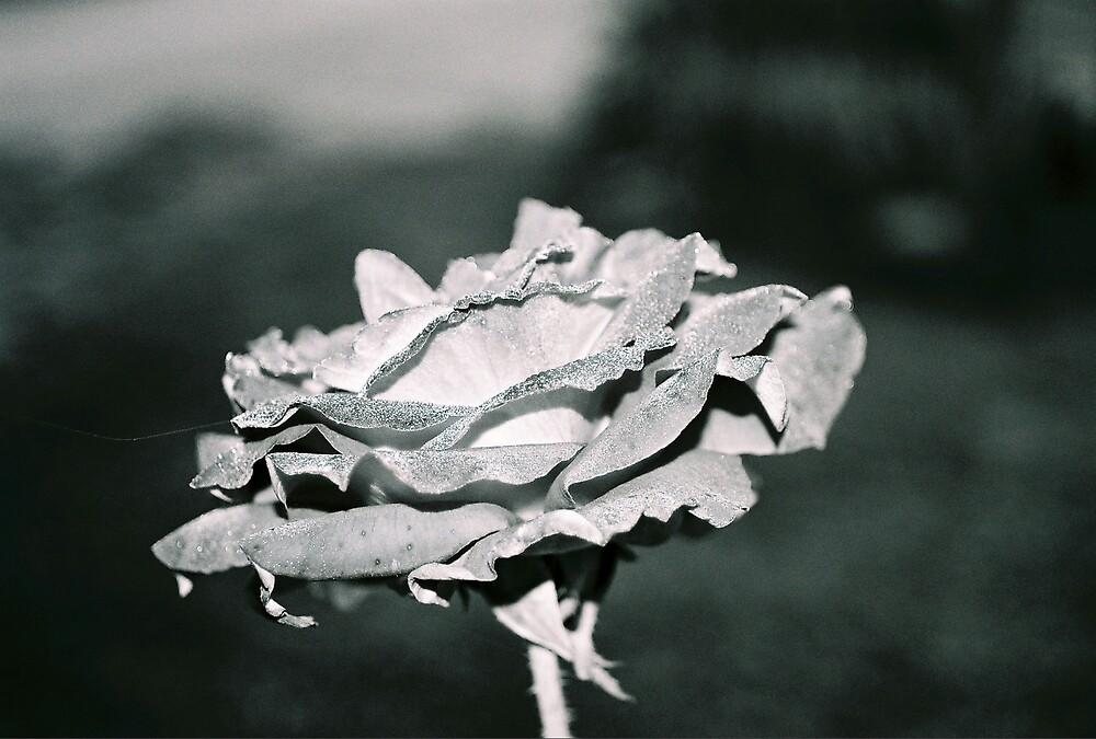 Dew Rose in Black and White by Kerrie Simms