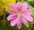 Passiflora tarminiana by Graeme  Hyde