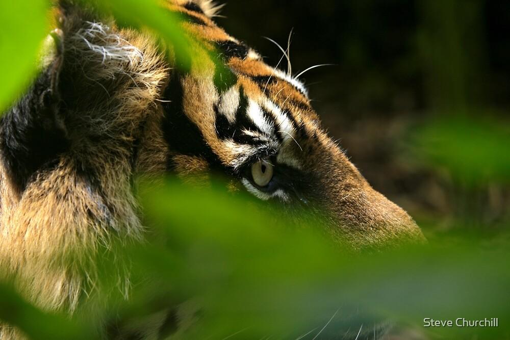 Sumatran Tiger by Steve Churchill