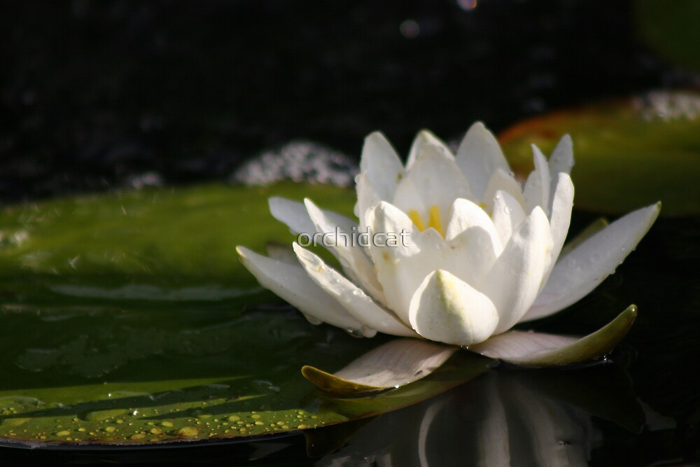 Waterlily by orchidcat