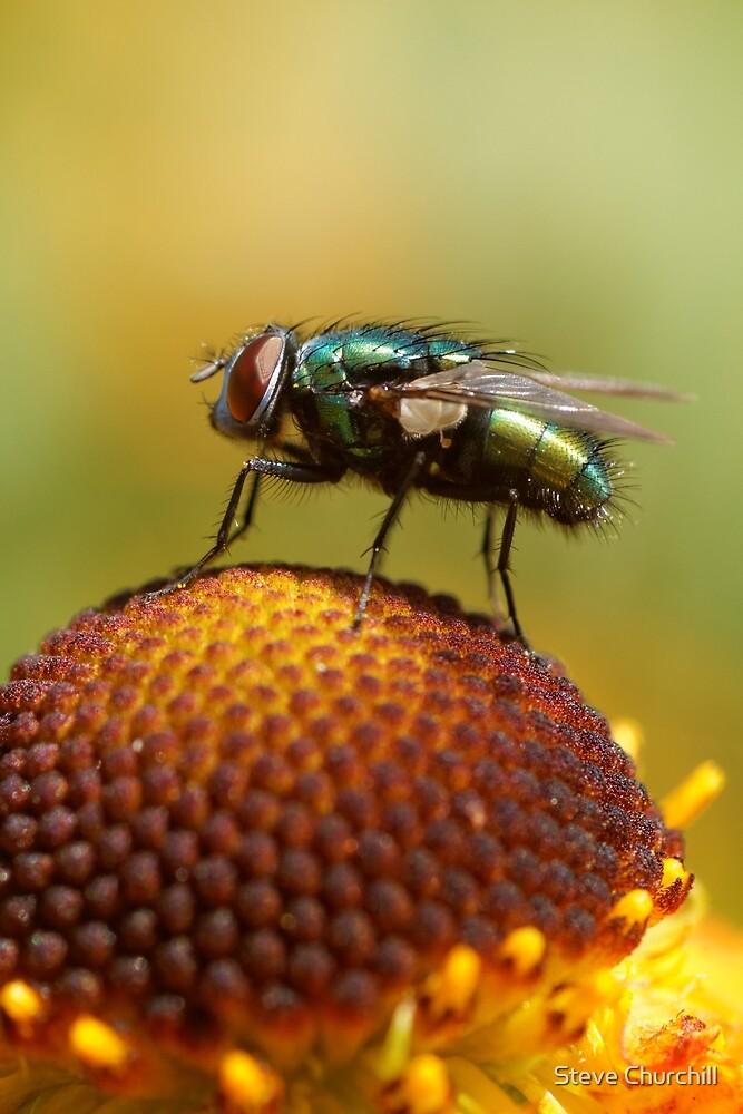 Fly on Flower by Steve Churchill