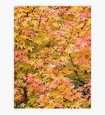 Acer Palmatum Photographic Print