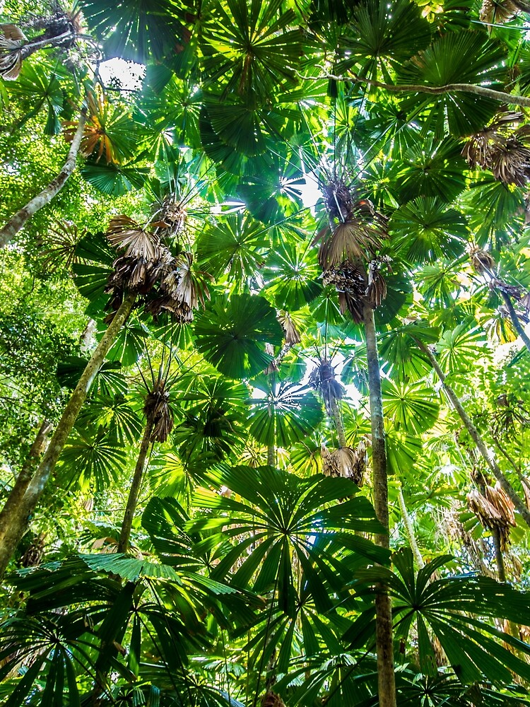 Fan palm forest by DavidWachenfeld