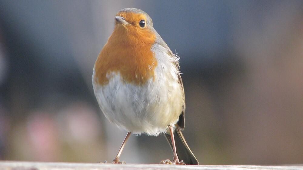 Friendly Robin by Sue Morhall