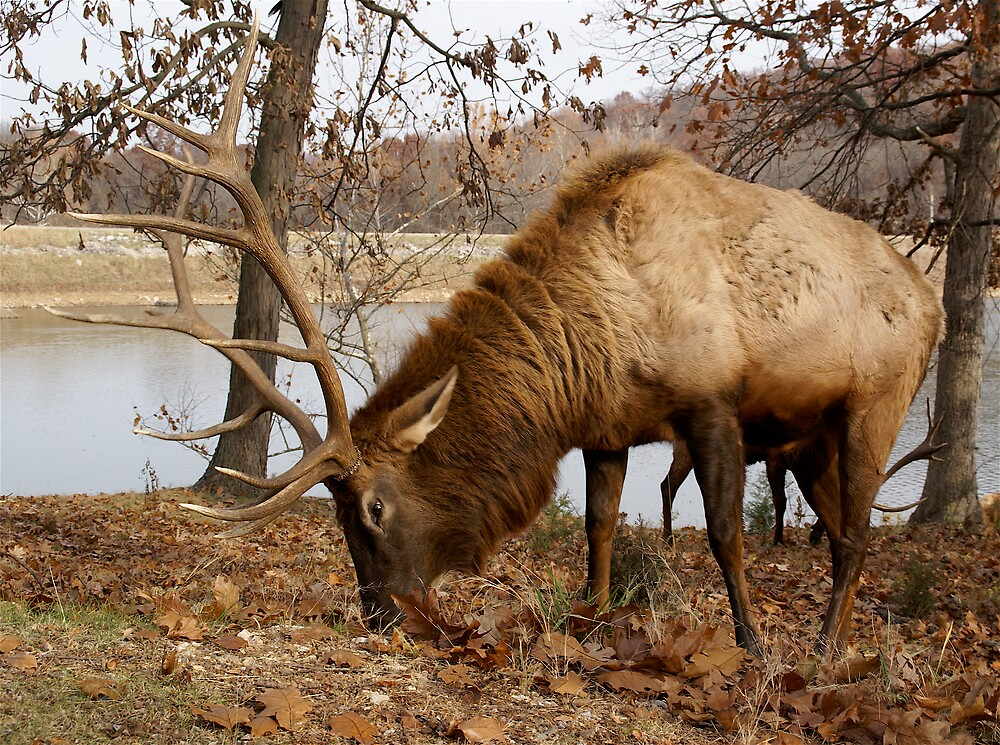 Elk Up Close and Personal by Jim Caldwell