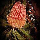 Banksia in Bloom by Rasendyll