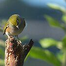 Silver Eye.... I'm a shy little bird........! by Roy  Massicks