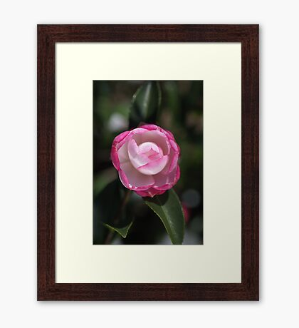 Beautiful Pink and White Camellia  Framed Print