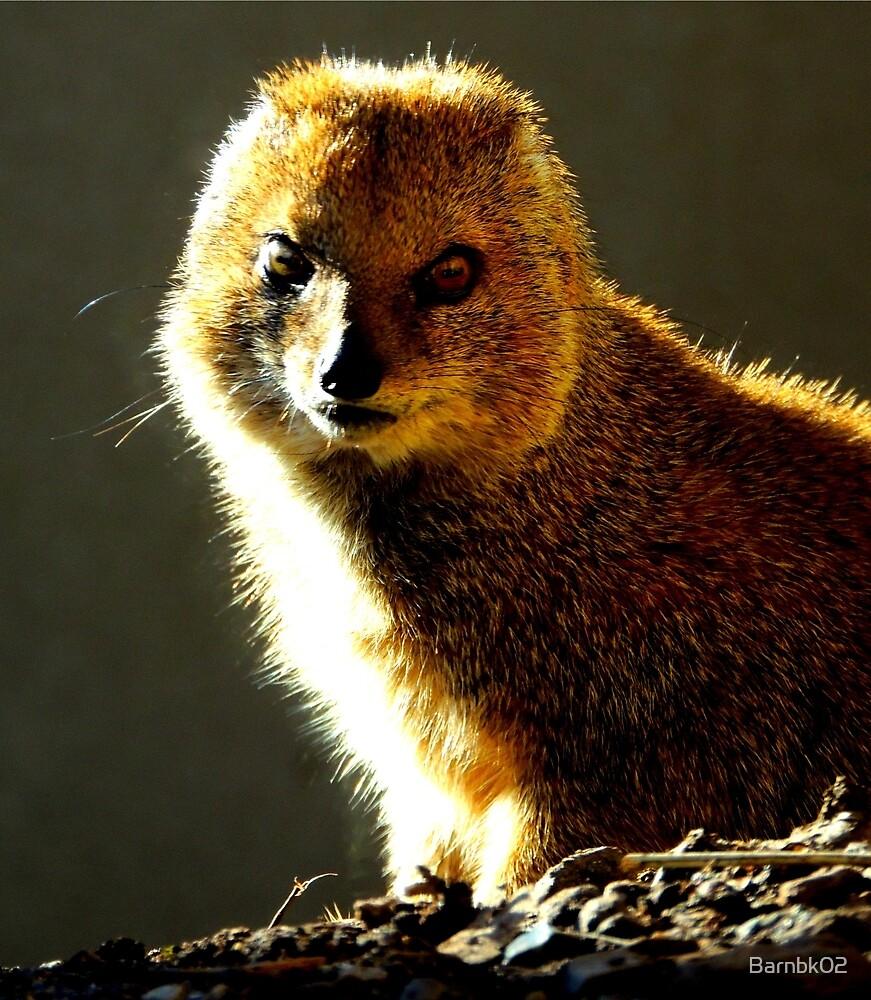 Yellow Mongoose 2 by Barnbk02