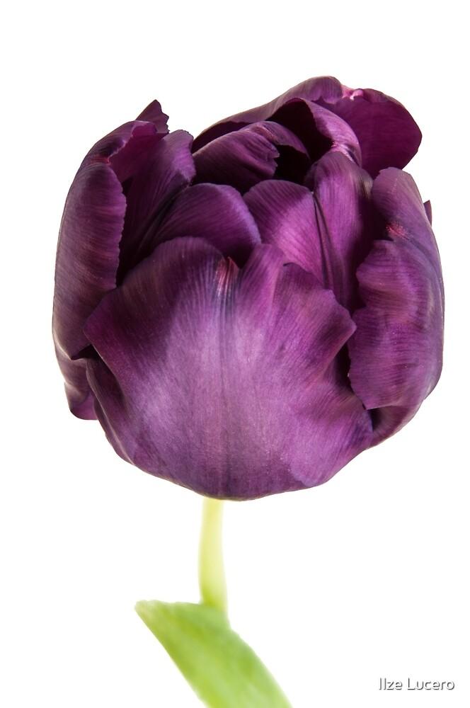 Purple tulip by Ilze Lucero