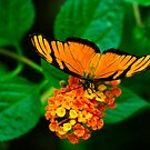 Banded-orange butterfly by Richard G Witham