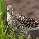 Female Ruff by Dominika Aniola