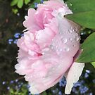 Peony after the Rain 1 by Christine  Wilson