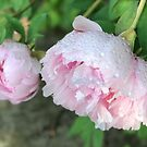 Peonies after the Rain 2 by Christine  Wilson