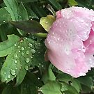 Peony after the Rain 3 by Christine  Wilson
