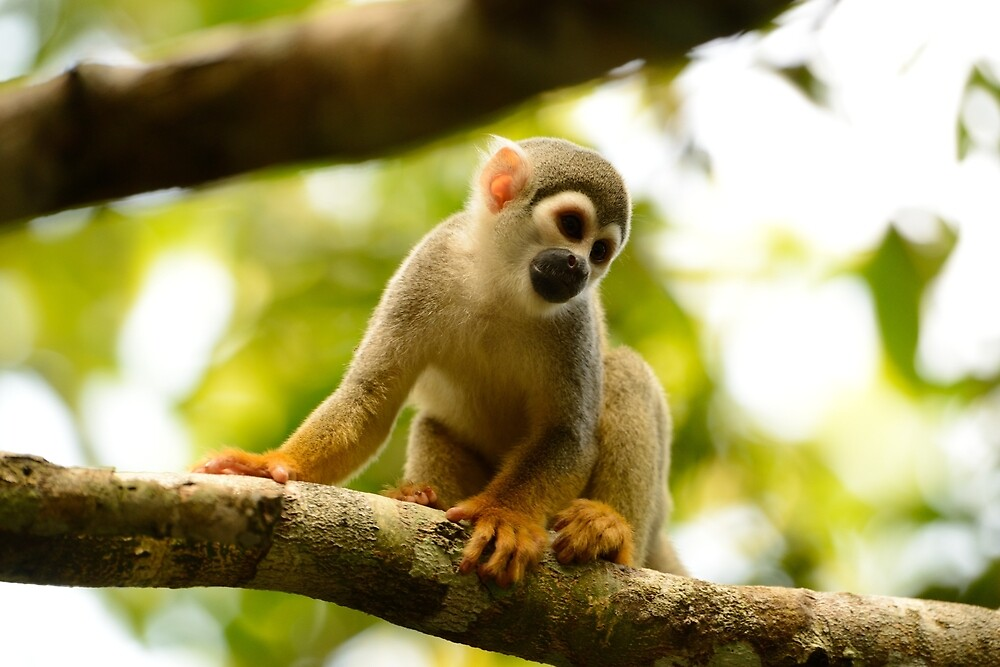 amazon monkey by Derek McMorrine