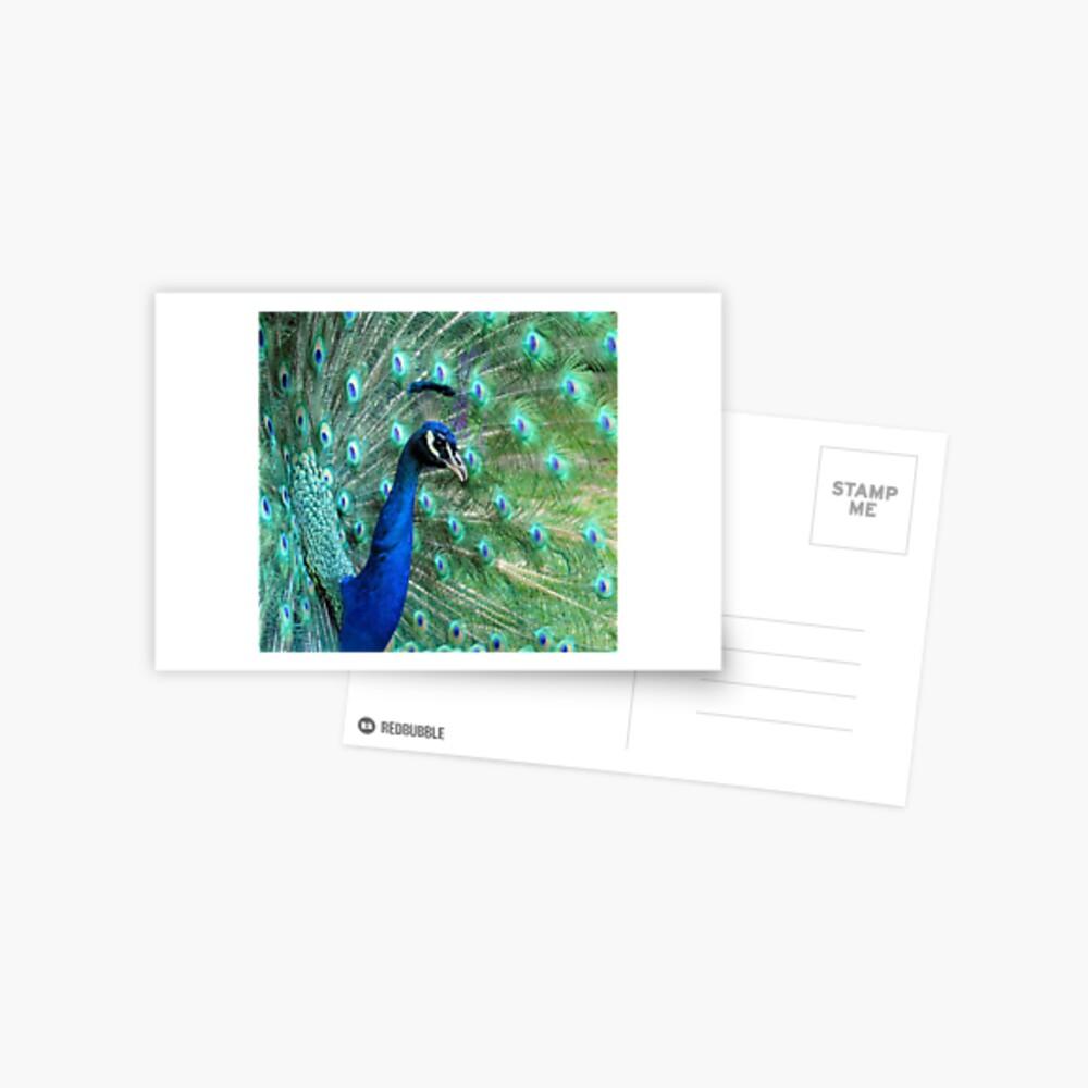 Peacock in bloom Postcard