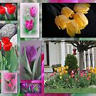 A Collage Of Beautiful Tulips by kkphoto1