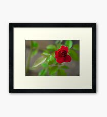 The one wasted red rose Framed Print