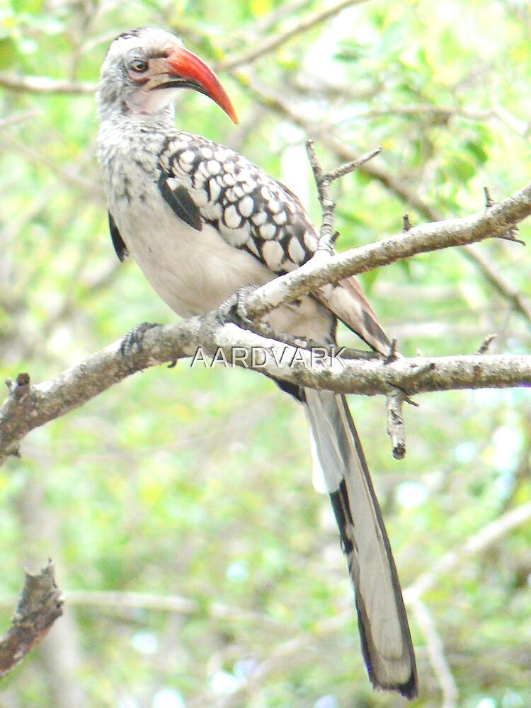 Red-billed Hornbill  (IV) by AARDVARK