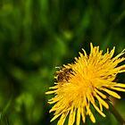 Bee on dandelion by Mark Bangert