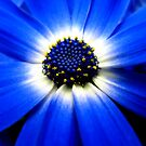 Blue Cineraria by Luis Correia
