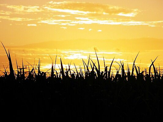 Sunset over the sugar cane field by orchidcat