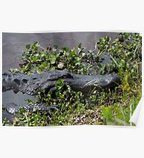 Alligator Resting Poster