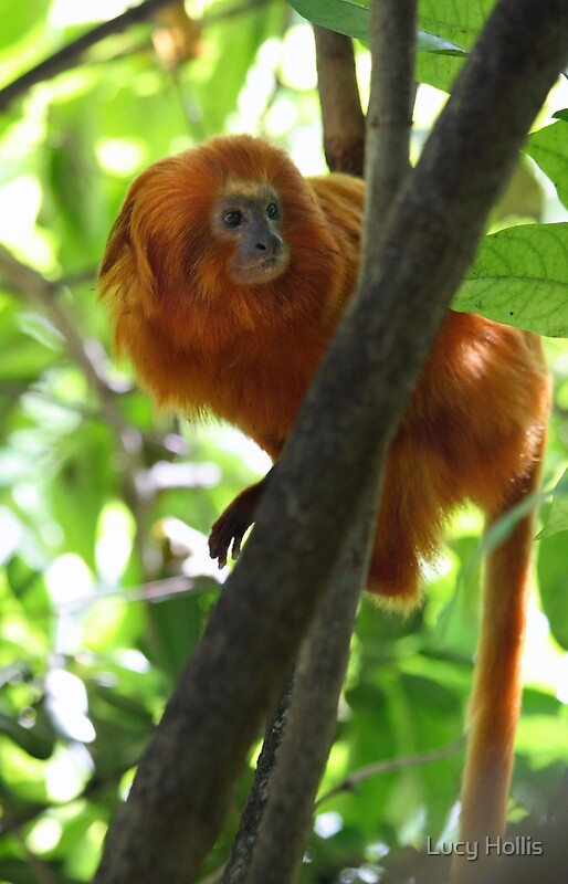 Quot Golden Lion Tamarin Quot By Lucy Hollis Redbubble