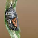 Monarch, a window of what will be.......! (3) by Roy  Massicks