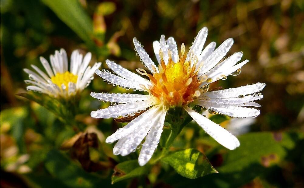 Dew Covered Field Flower by andreajean