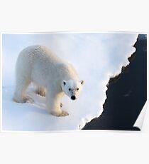 Polar Bear Stare 2 Poster