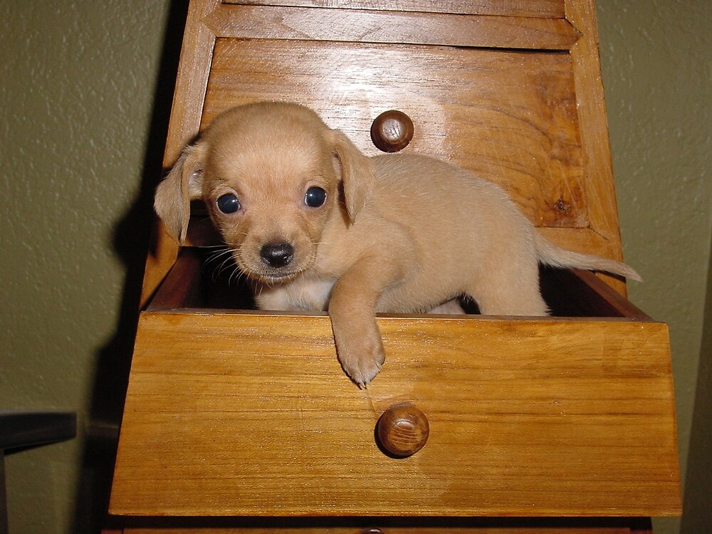 PUPPY IN A DRAWER by PETER JANUS
