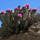 Blooming Cactus in the Santa Rosa Mountains  by Heather Friedman