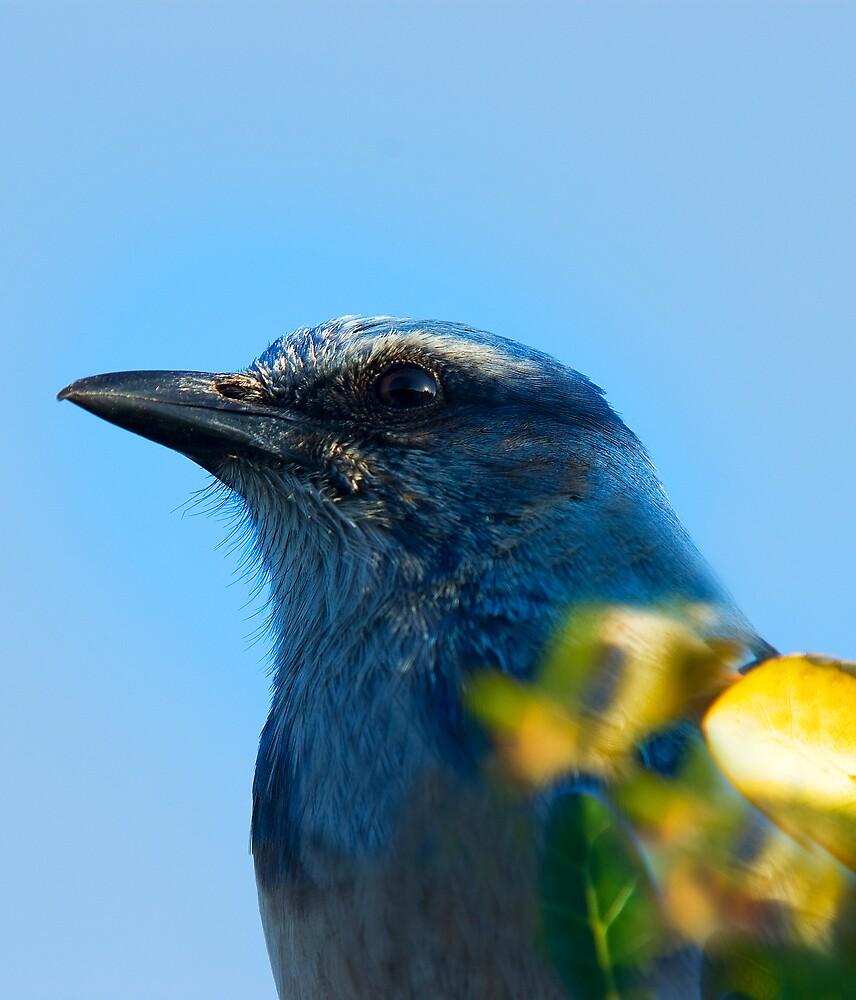 Scrub Jay Profile by Michael Wolf