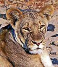 Lioness Portrait by Graeme  Hyde