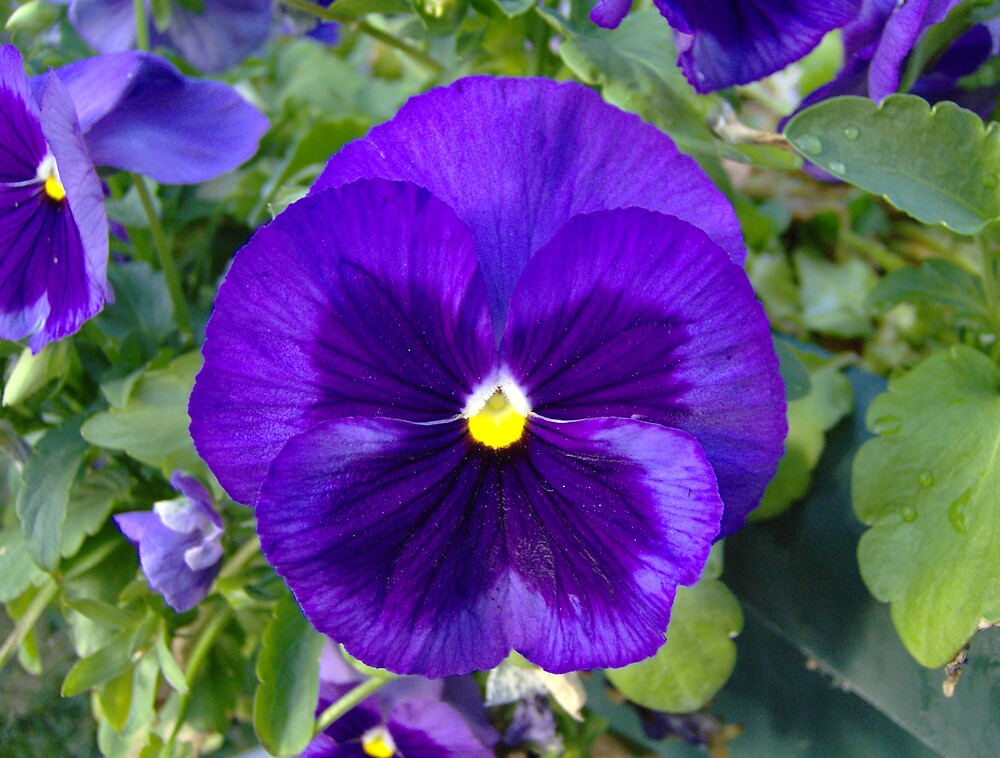 Purple Pansy by cameragirl