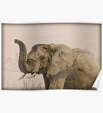 African elephant with raised trunk.  Poster