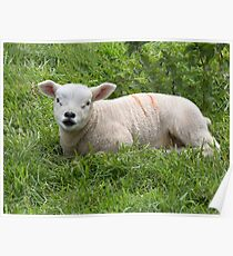 Springtime, baby lambs in a field  Rutland Poster