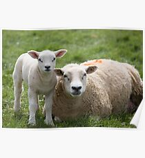 Springtime, baby lambs graze with their Mothers in a field  Poster