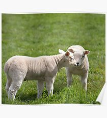baby lambs in a field , Rutland uk Poster